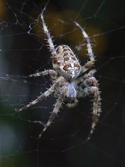 Spider (Arachnida) (sillie_R) Tags: insect spider arachnida naturesfinest