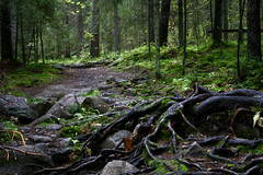 roots with path ahead (Vesa-Valtteri) Tags: autumn forest finland woods roots creepy ethereal helvetinjrvi