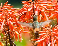 Brilliant Beauty (Don Baird) Tags: hummingbird onlythebestare