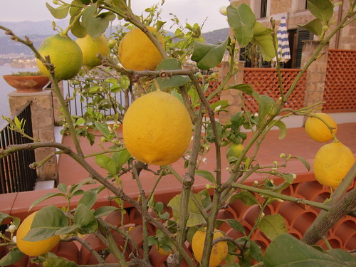 Our Terrace's Lemon Tree