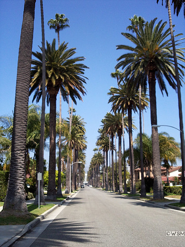 Palm Trees Hollywood Hollywood Palm Trees Along
