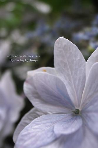 Hydrangea #2