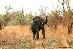 West african elephant (Jonas Van de Voorde) Tags: africa elephant nature animals wildlife safari westafrica elephants benin pendjari jonasvandevoorde