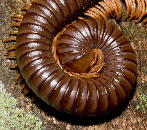 millipede curl