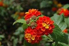 Los colores de la pasin. (angie_dj) Tags: macro rojo nikond70 flor amarillo lantana pfc naturesfinest supershot photofaceoffwinner pfosilver