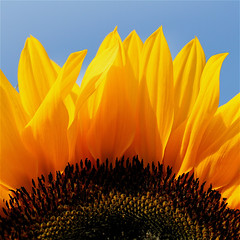 I can see clearly now the rain is gone...... (cattycamehome) Tags: blue summer sky brown sun flower macro home beauty sunshine rain yellow tag3 sunrise happy petals lyrics tag2 colours tag1 bright quote song centre joy sunny seeds petal sunflowers stamen sunflower positive jimmycliff brilliant sunshiny catherineingram supershot outstandingshots july2007 abigfave allrightsreserved cattycame youandmyotherfriendsmakemekomebackeventhough