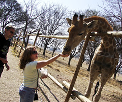 The hand that feeds the giraffe
