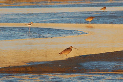 Golden light over the mudflats (Pat Ulrich) Tags: california sunset birds d50 tide low birding nikond50 wetlands mudflats shorebirds goldenlight albanymudflatsecologicalpreserve albanyca wetlanddoc patulrich