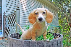 Honey (Doxieone) Tags: summer dog hot cute english yard garden puppy interestingness nikon long barrel cream dachshund explore honey blonde exploreinterestingness pup nikkor haired pup1 greeen coll 1002 longhaired 70300mmf456d honeydog explored englishcream honeyset