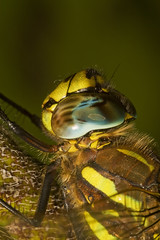 """Common Hawker Dragonfly (Aeshna junc(10) • <a style=""""font-size:0.8em;"""" href=""""http://www.flickr.com/photos/57024565@N00/1214870365/"""" target=""""_blank"""">View on Flickr</a>"""