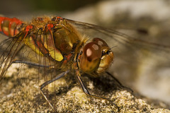 "Common Darter Dragonfly (Sympetrum s(47) • <a style=""font-size:0.8em;"" href=""http://www.flickr.com/photos/57024565@N00/1303409045/"" target=""_blank"">View on Flickr</a>"