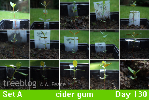 cider gum seedlings, Numbers 1 to 15