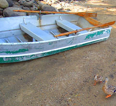 turf wars (Shawn Toohey) Tags: new york old lake ny color beach nature water fun boat duck sand rocks with critter ducks vessel pic pebbles row rowboat fowl waterfowl quack tender paddles sacandaga broadalbin dinghie