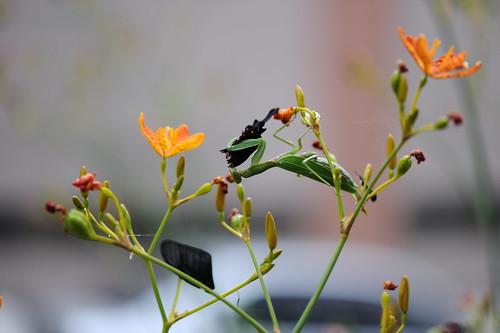 螳螂捕蝶 021