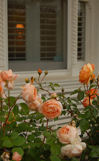 _old_roses_