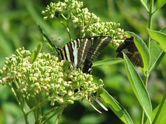 Zebra Swallowtail and silver-spotted skipper