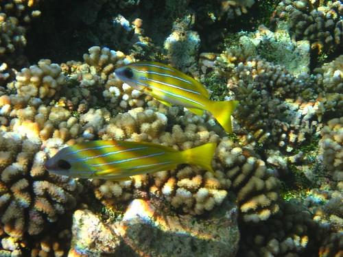 Tetmanu fish 1