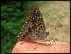 Hackberry Emperor - Asterocampa celtis (emace) Tags: macro butterfly bug insect illinois soe naturesfinest centralillinois hackberryemperor asterocampaceltis mywinners shieldofexcellence aplusphoto