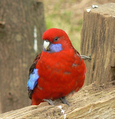 Wild and Free Crimson Rosella (ianmichaelthomas) Tags: friends birds parrot victoria parrots smorgasbord crimsonrosella rosellas animaladdiction australiannativebirds australia wildlifeofaustralia animalcraze worldofanimals auselite naturewatcher healesville flickrlovers vosplusbellesphotos flickrsbestcreatures
