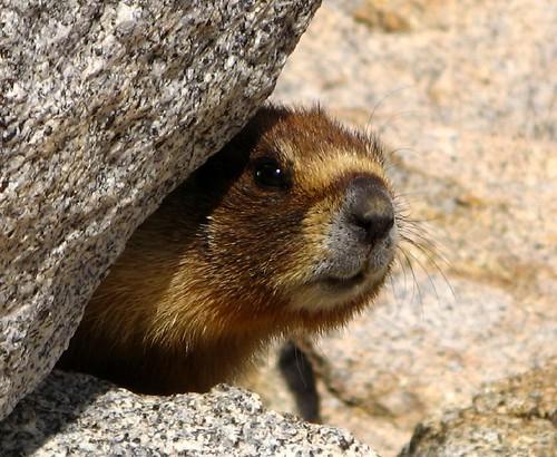 Nice Marmot (Photo by davidtaus)