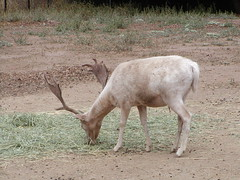 White Fallow Deer buck