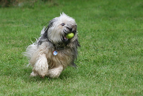 Tibetan Terrier Dog Photo