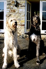 The Canines (the_steve_cox) Tags: two portrait dogs bristol couple bigdogs bitton wolfhound americangothic coxy photoportunitycom verybigdogs