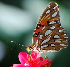 (lisajacob) Tags: pink flowers flower macro nature butterfly garden insect nikon searchthebest platinumphoto specinsect superbmasterpiece diamondclassphotographer flickrdiamond nikond40x macromarvels awesomebug