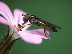 A fly can have it's beauty too (mion.nl) Tags: fly vlieg flickrsbest mywinners abigfave copyrightmionnl flydrinkinghoney vliegdiehoningdrinkt mionnl