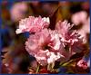 Japanische Zierkirsche (Thomas Bindreiter) Tags: tree nature japan natur blüte baum excellence zierkirsche japanischezierkirsche onlythebestare naturescreations