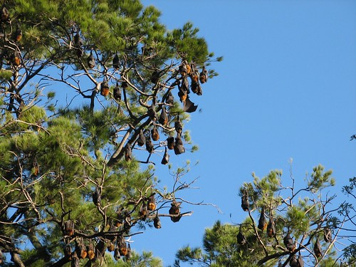 bats hanging like fruit