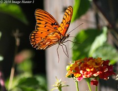 Gulf Fritillary Clear To Land (Image Hunter 1) Tags: pink red orange black flower green nature yellow butterfly flying wings louisiana flight landing bayou swamp marsh bud lantana gulffritillary t2i bayoucourtableau canont2i
