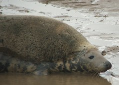 Walk 38 - 27th October 2010 (2) (kazc365) Tags: lincolnshire seals greyseals donnanook