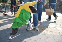 Unidog (thoth1618) Tags: nyc newyorkcity costumes dog pet pets ny newyork halloween animal animals brooklyn costume october brooklynheights brooklynheightspromenade parade promenade gothamist halloweenparade 2010 howloween brooklynpromenade brooklynny dogparade dogcostumes dogcostume dogincostume brooklynusa muttsquerade petsincostume dogincostumes brooklynheightsblog 103010 petincostume animalsincostumes animalincostume halloween2010 october302010 perfectpawsinc the8thannualhowloweenmuttsqueradeparade