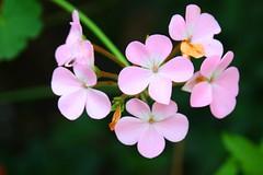 Di cose comuni (Eine-reise) Tags: flowers plants nature dof bokeh natura fiori piante canon450d