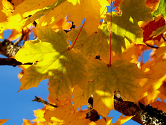 Changing Colors (gripspix (catching up slowly)) Tags: blue autumn sky plant nature leaves golden colorful herbst natur pflanze himmel autumnleaves acer blau bunt herbstlaub ahorn herbstfrbung 20101011