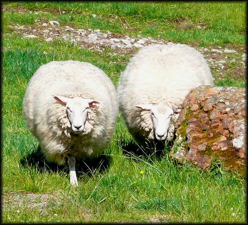 fat sheep on leenaun