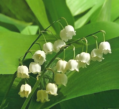 lily of the valley (Henri Bonell) Tags: flowers white flower green nature forest lily bloom blooming lilyofthevalley excellence naturesfinest henribonell diamondclassphotographer
