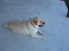Dog (amy_kearns) Tags: dog animal labrador nj hubble amykearns sussexcounty kearnsfamilyreunion