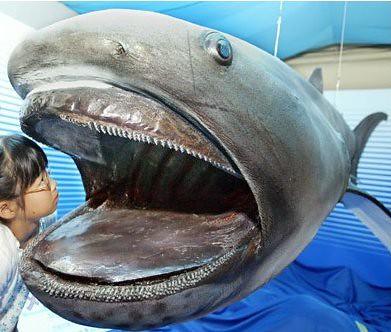 Megamouth Shark: Say AHHHH