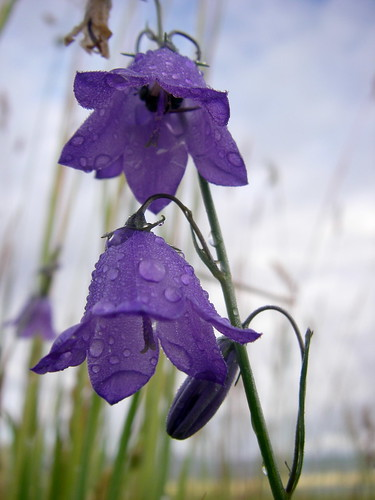 Dewdrops on Harebells