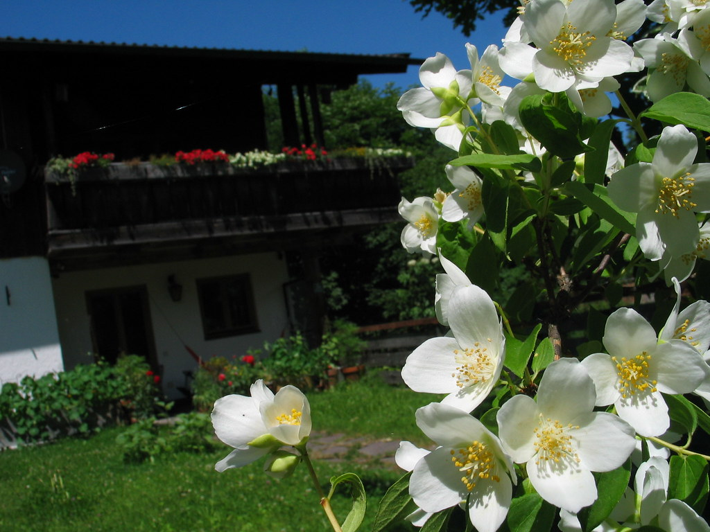 The Worlds Best Photos Of Bauernjasmin And Flowers Flickr Hive Mind