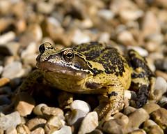 Rana temporaria (icthologist) Tags: frog common rana temporaria