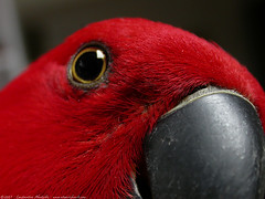 zuzu  up close (atomicshark) Tags: red macro bird eye closeup nikon close beak feathers parrot coolpix nikkor zuzu eclectus 4500 atomicshark