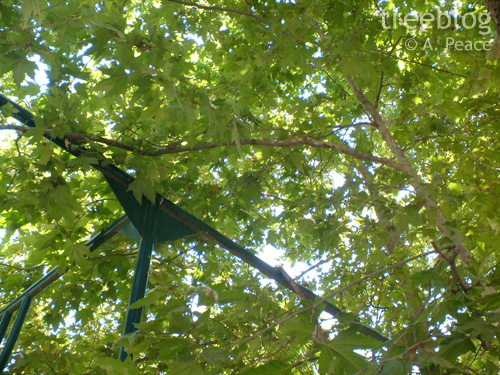 the Plane Tree of Hippocrates (June 26th 2006)