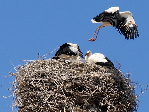 Storks' nest on church dome