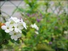 This image of Duranta repens 'Alba' will be cropped and dragged to the main picture as an inset