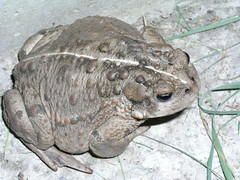 Boris (donald schenck) Tags: toad boreal
