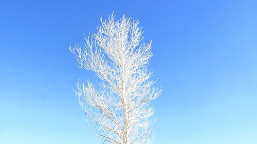 white tree shiners sky
