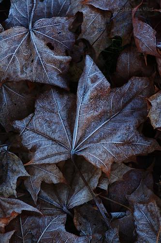 Frozen leafs